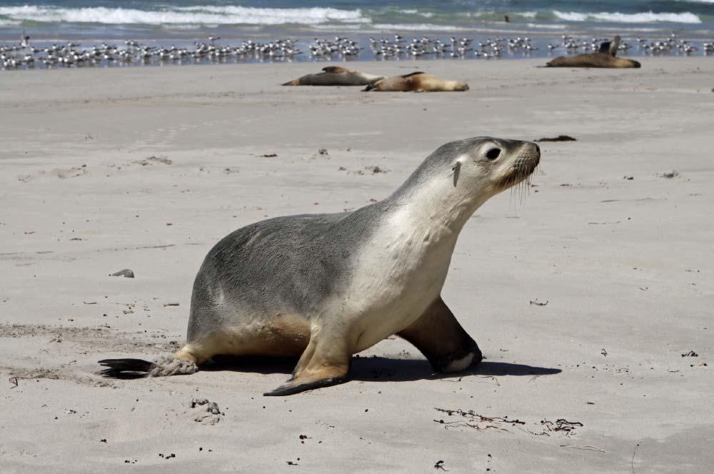 Kangaroo Island Tour, Fur Seal